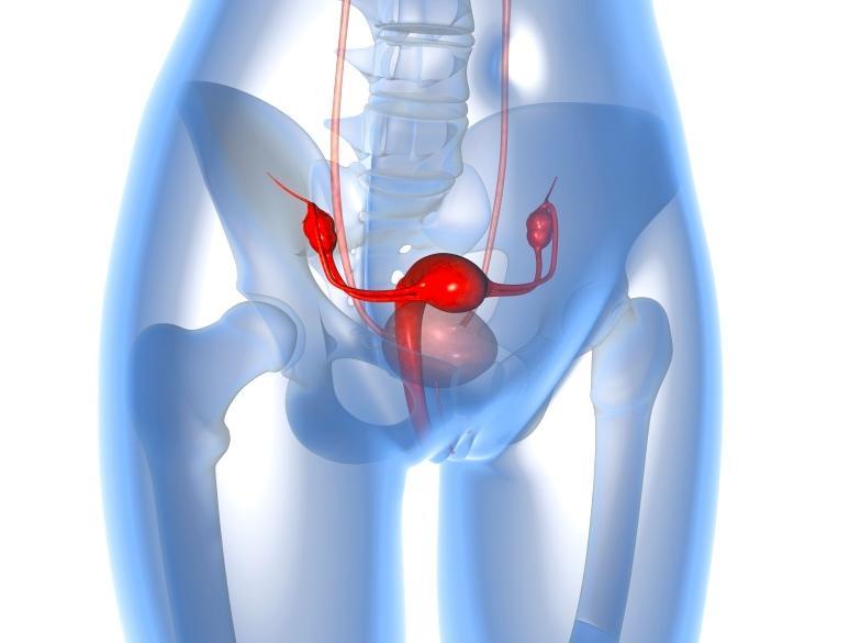 Анатомическое положение матки