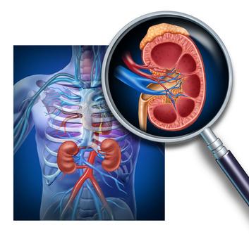 Анатомічне розташування нирок в організмі людини