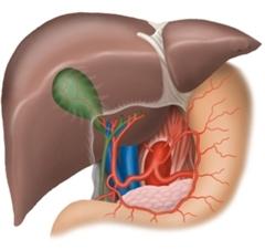 Анатомічна будова печінки