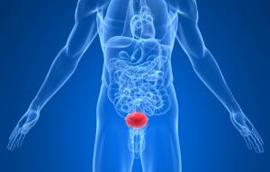 Анатомическое расположение мочевого пузыря в организме человека