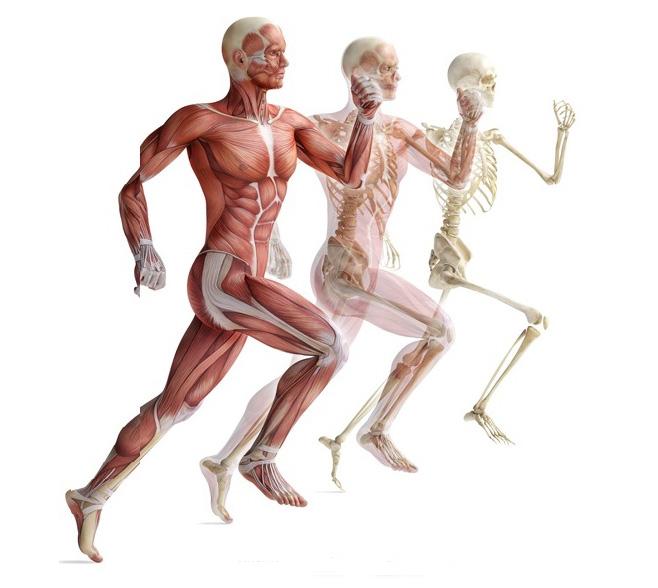Опорно-рухова система людини