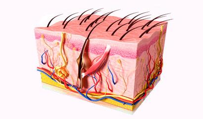 Анатомическое строение кожного покрова человека