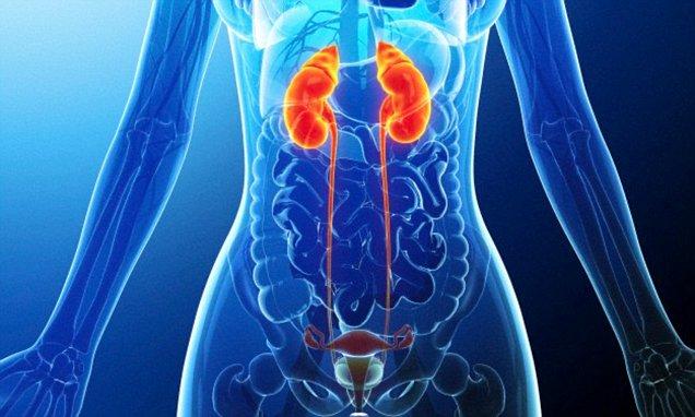 Анатомічна будова сечовивідної системи