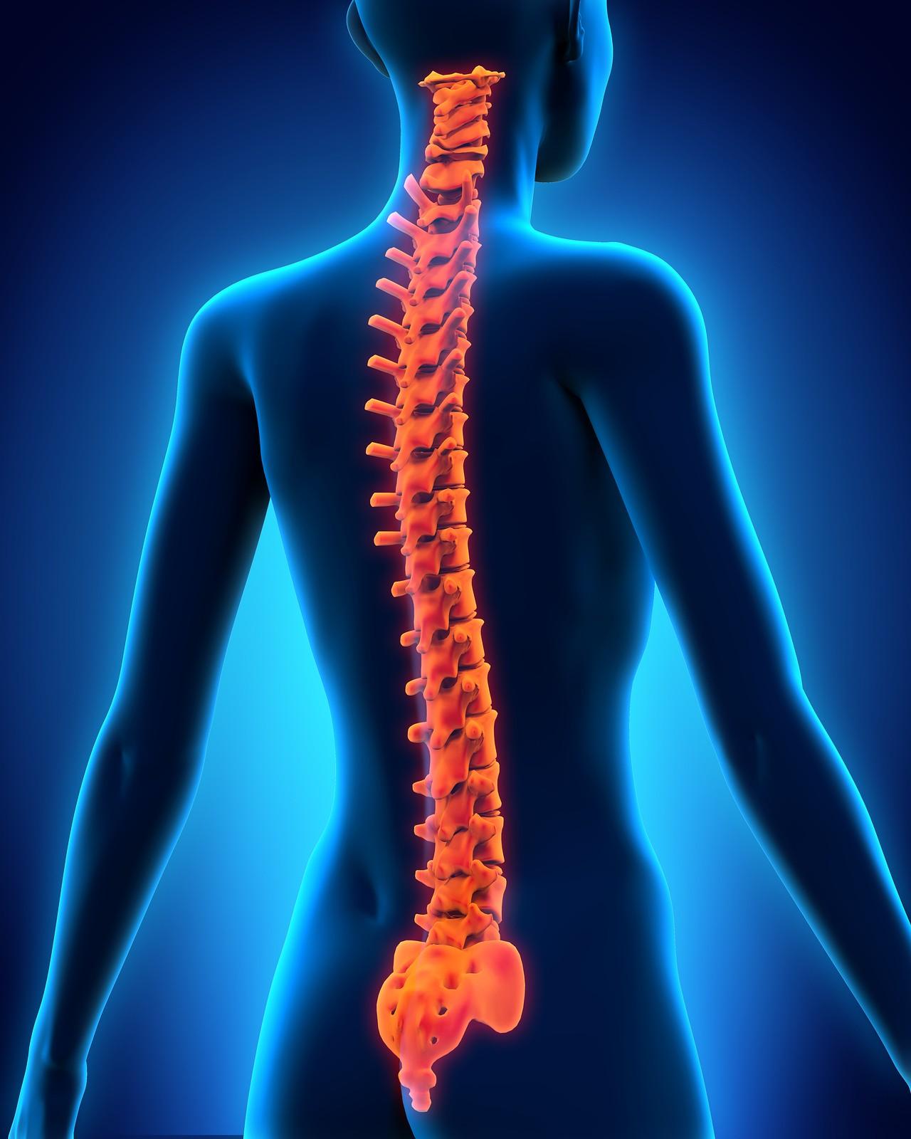 Анатомическое строение позвоночника человека