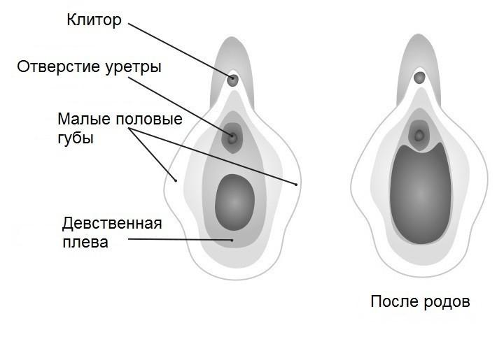 Анатомия внешних половых органов женщины
