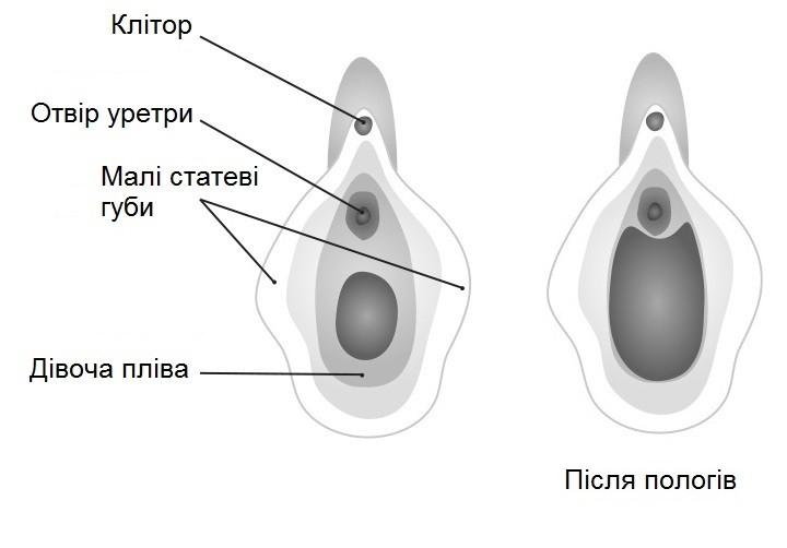 Анатомія зовнішніх статевих органів жінки